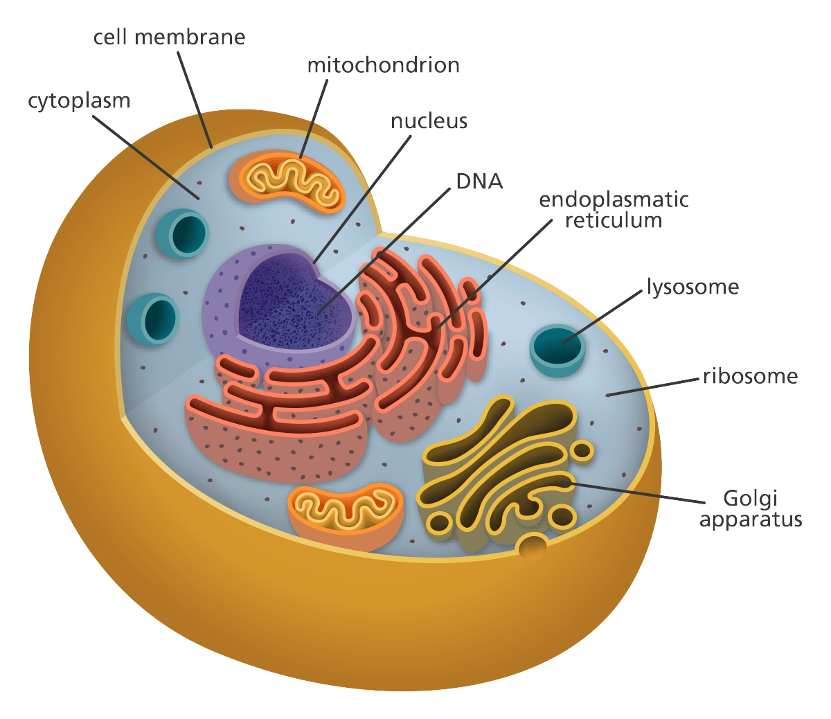 eukaryotic endomembrane system cell diagram air compressor pressure switch wiring labels