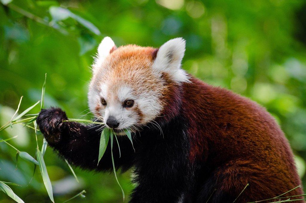 Cute Llama Wallpapers Adaptations For Red Pandas