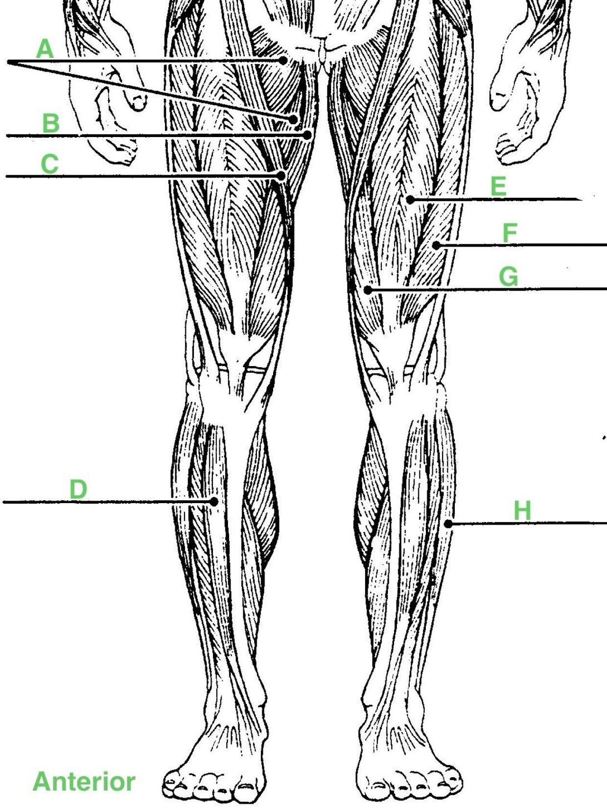 33 Label The Muscles Of The Legs