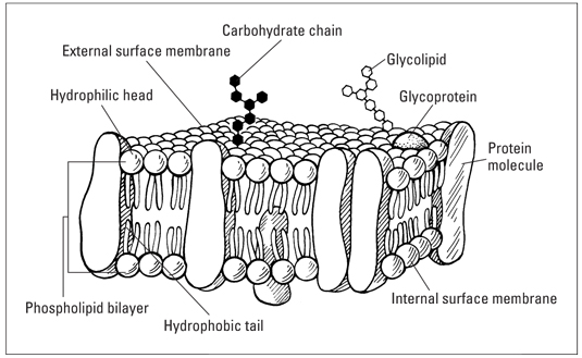 Fluid Mosaic Model of cell membrane's structure/ İdil