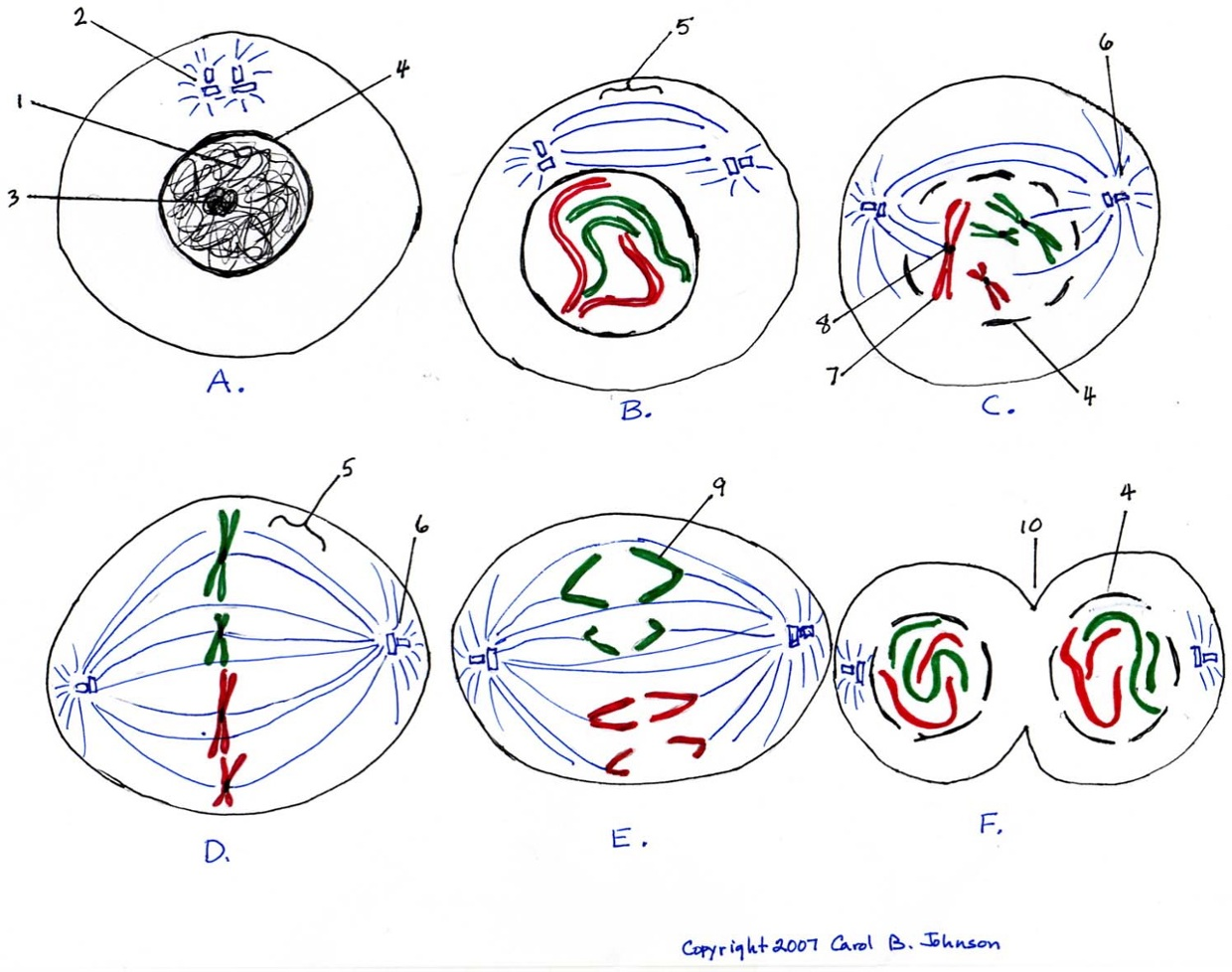 stages of mitosis and meiosis diagrams f250 stereo wiring diagram