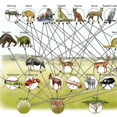 Wolf Food Chain Diagram Elements Compounds And Mixtures Diagrams African Savanna Web
