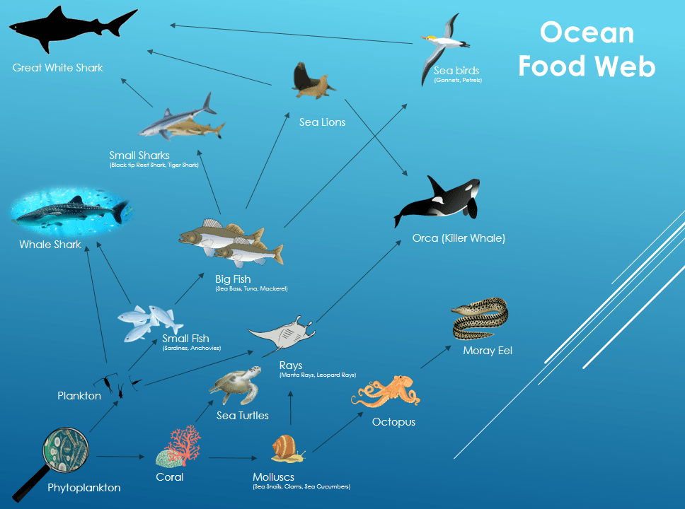 Ocean Food Web By Cristian Diaz