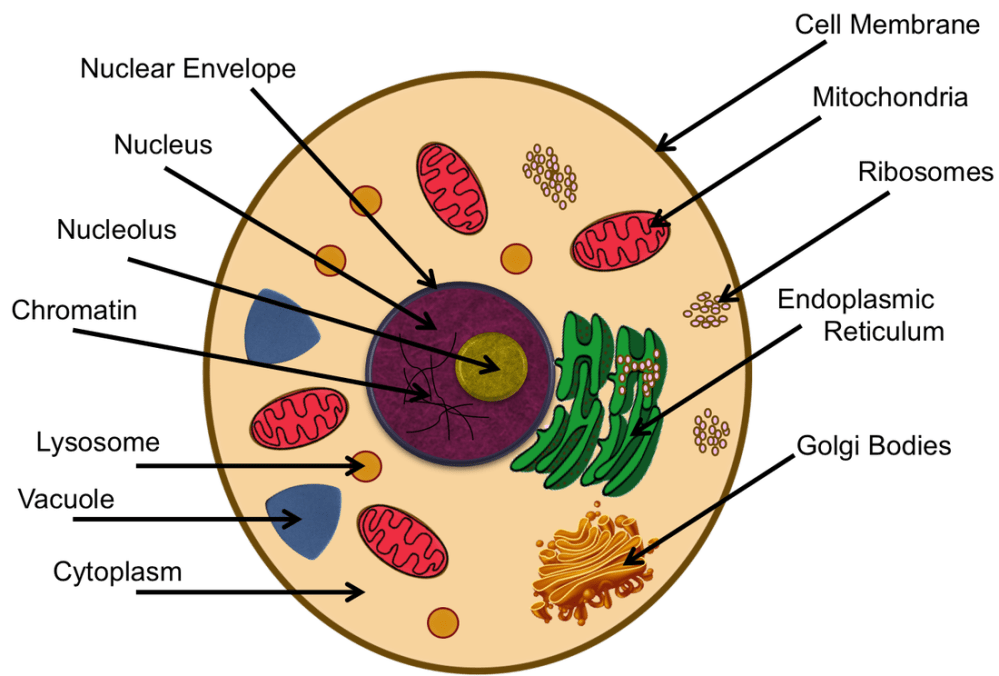 medium resolution of cell 3 plant cell diagram chromosomes animal cell diagram labeled