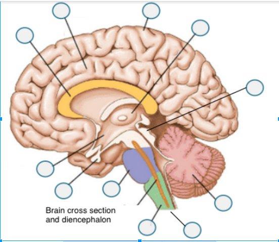 Thalamus , Pons, Medulla Oblongata , Spinal Cord , Corpus...