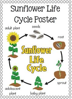 Rose Flower Life Cycle Diagram Life Cycle Of A Sunflower Ishika Amp Fateema