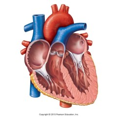 Anterior Heart Diagram Unlabeled 3 Phase Ac Generator Wiring Human Best Library Aortic Arch Pulmonary Trunk Left Artery Rh Thinglink Com Blank For Labeling