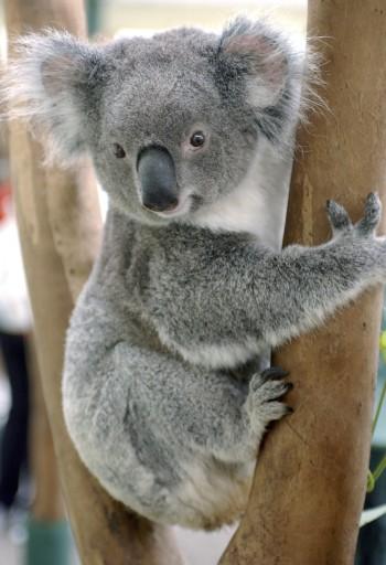 Remix of Koala Bear