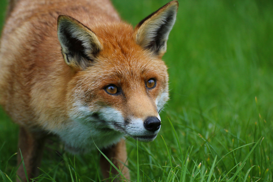 Cute Live Wallpaper App Red Foxes Live Around The World In Many Diverse Habitats