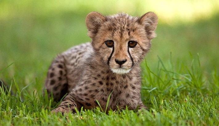 Cute Baby Cheetah Cubs Wallpaper Cheetah Cube