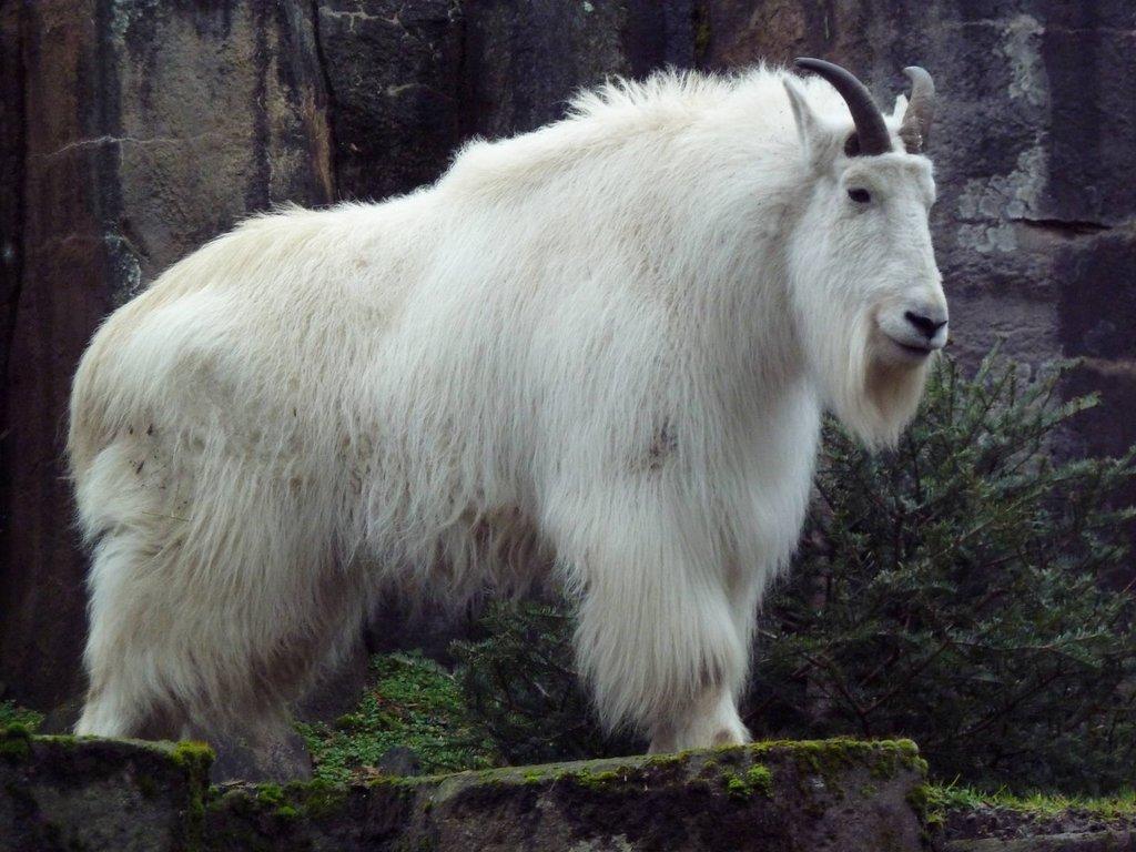 Botha: Mountain Goat,中文釋義的頁面, Animal Cell