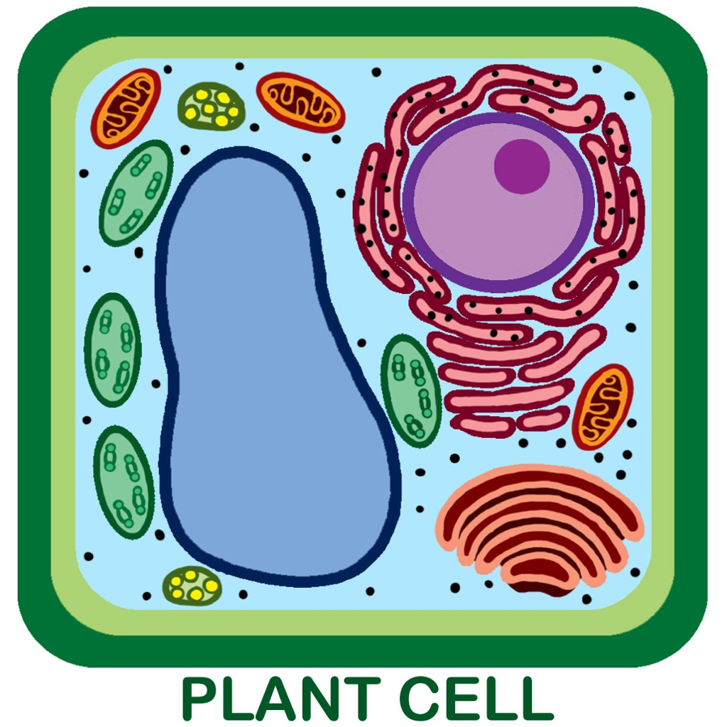plant cell diagram unlabeled [ 1024 x 1024 Pixel ]