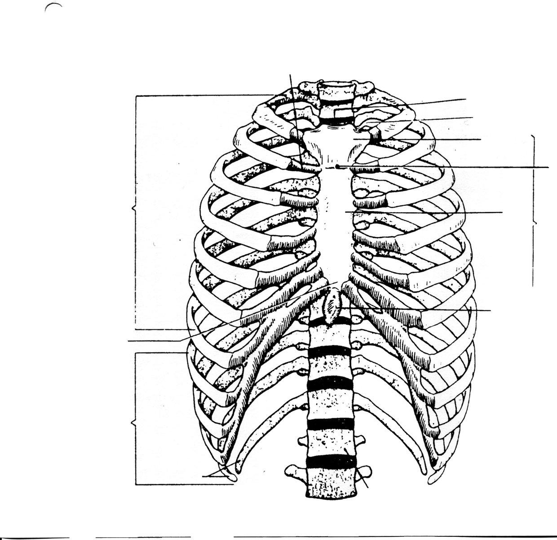 hight resolution of btec level 2 sport skeletal system blank human skull diagrams ribs thinglink