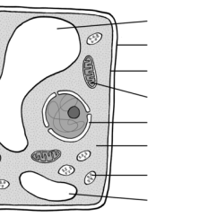 Chloroplast Diagram With Labels Iron Carbon Equilibrium Plant Cell
