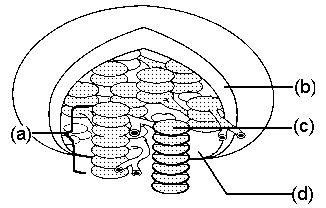 Chloroplast