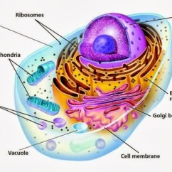 Fungus Cell Diagram Labeled 3 Phase Two Speed Motor Wiring The Membrane Is Outer Layer Of Cell. It A... - Thinglink