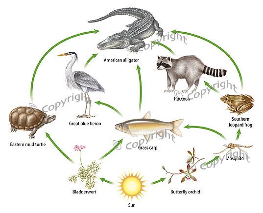 savanna animal food chain diagram 2002 jeep wrangler ac wiring swamp information |
