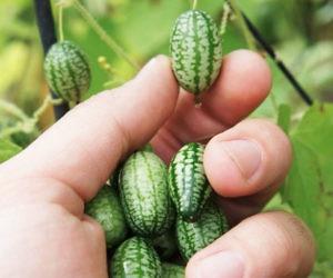 Mini Watermelon Cucumber Seeds