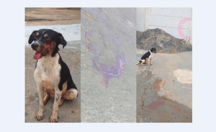 Cachorro é atropelado por caminhonete e perde olho; motorista fugiu