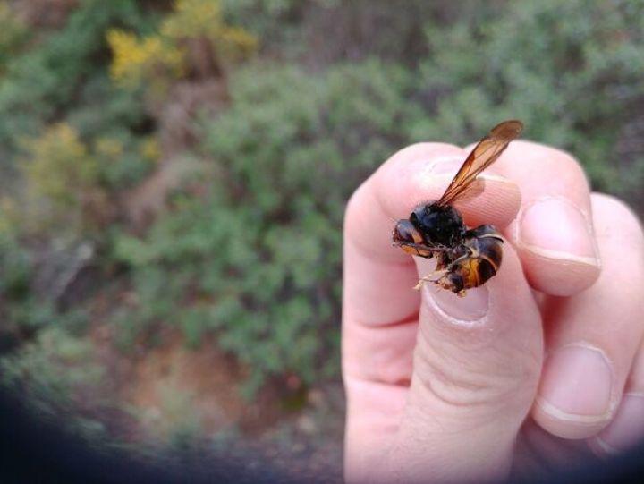 Apicultor morre após ser picado por vespa