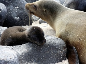 sea lion and pup