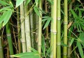 Stony Brook University Bamboo