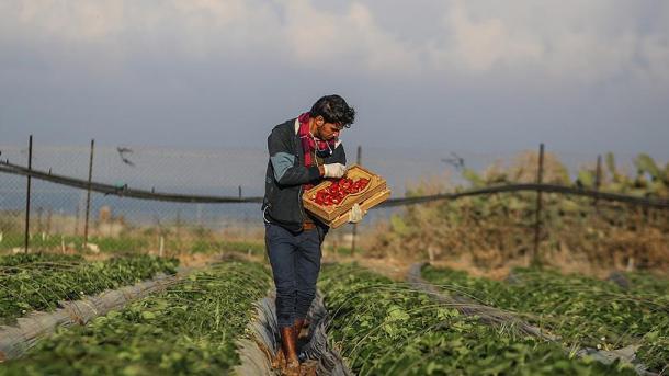 Avionët izraelitë spërkasin me lëndë të dëmshme kimike fushat bujqësore palestineze