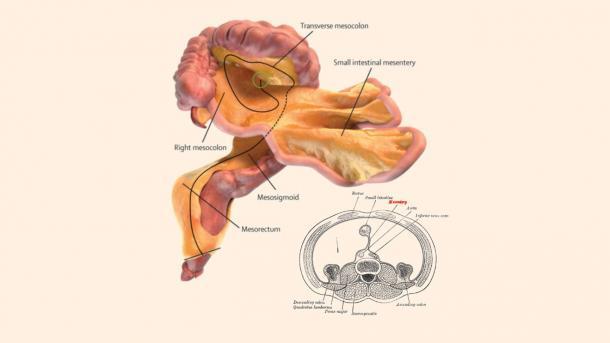 Neues menschliches Organ entdeckt