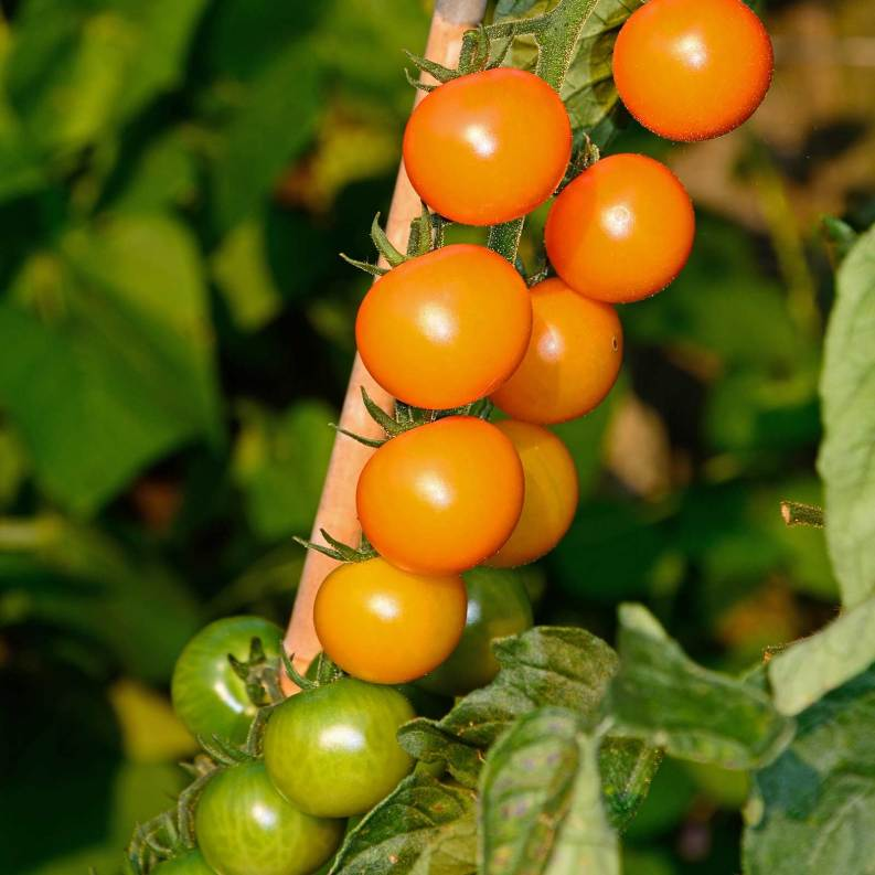 How To Grow Hydroponic Tomatoes Easily With Amazing Results