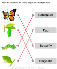 Butterfly Life Cycle Pictures Worksheet