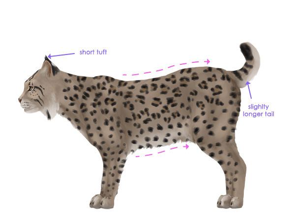 snow leopard anatomy diagram ford e250 radio wiring how to draw animals: big cats, their and patterns - part 2