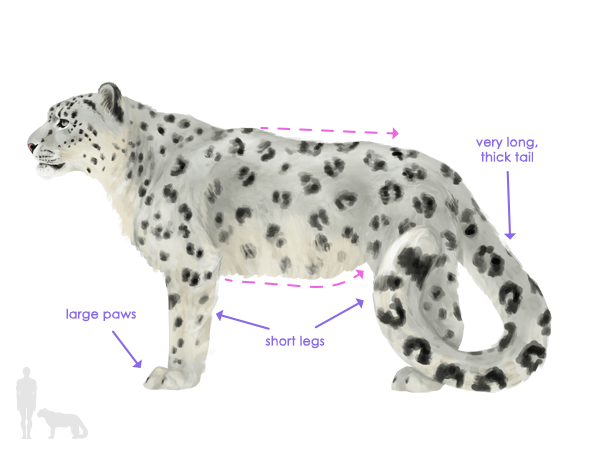 snow leopard anatomy diagram ford escape 2006 radio wiring how to draw animals big cats their and patterns drawingbigcats 5 1 silhouette