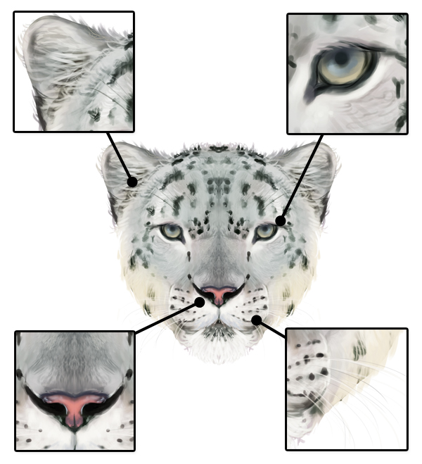 snow leopard anatomy diagram sr20det wiring how to draw animals big cats their and patterns drawingbigcats 5 7 head details front