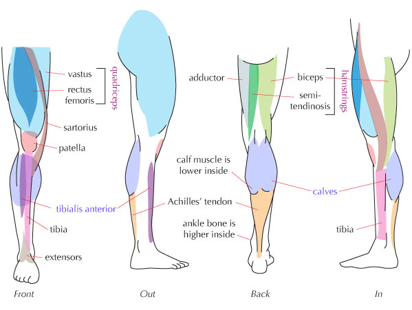 Human Anatomy Fundamentals: Muscles and Other Body Mass