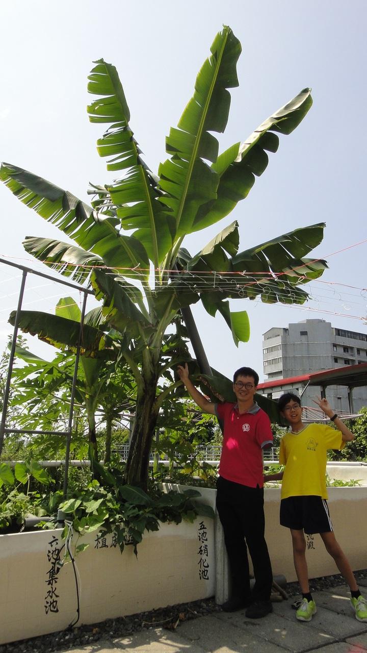 魚菜共生 香蕉樹長到一層樓高   綜合   聯合影音