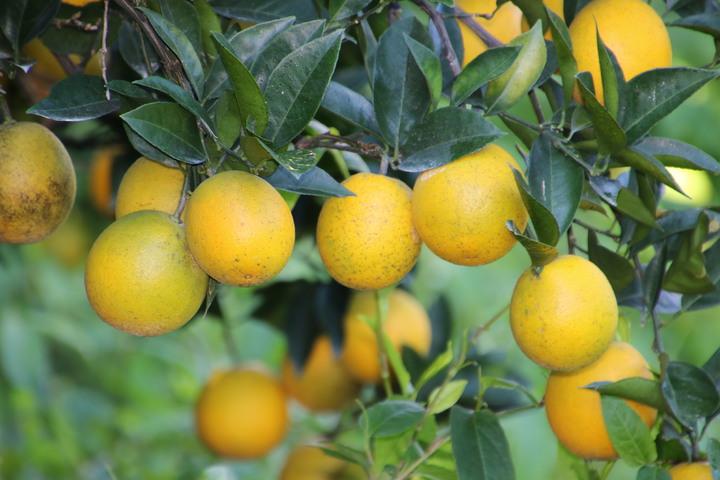 堅持草生管理的水里鄉柳丁園長出高品質柳橙接受預約 | 綜合 | 聯合影音