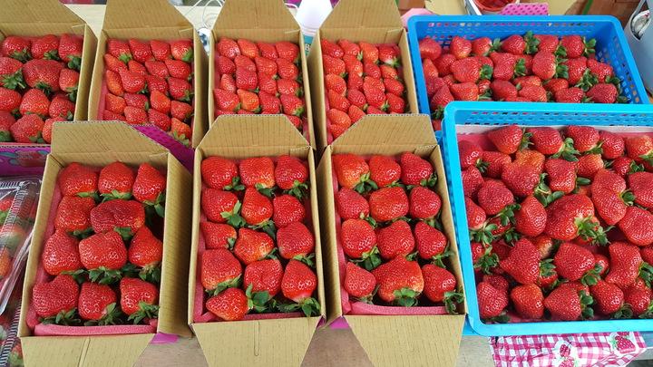 草莓價格較元旦假期下降 採果正是時候   綜合   聯合影音
