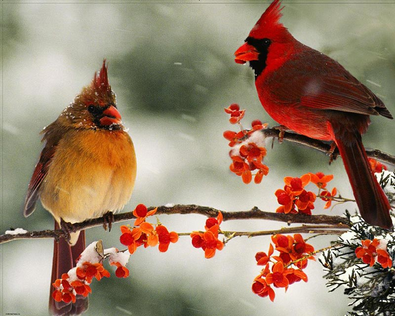 Cardinal Couple Jigsaw Puzzle
