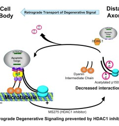 diagram showing retrograde degenerative signaling prevented by hdac1 inhibition [ 957 x 826 Pixel ]