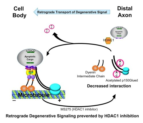 small resolution of diagram showing retrograde degenerative signaling prevented by hdac1 inhibition