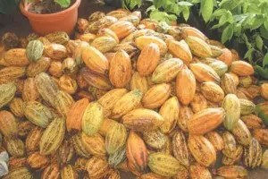 Ghana, the world's second largest cocoa producer