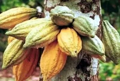 Board releases 2019/20 land allocation for cocoa farming in Cross River