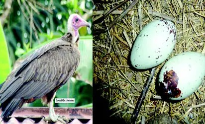 Vulture and its eggs