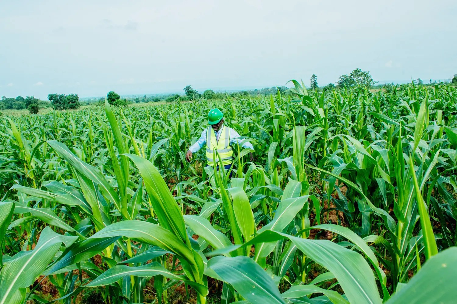 GOMBE : Aerial control of migratory pest to resume on Wednesday - Vanguard