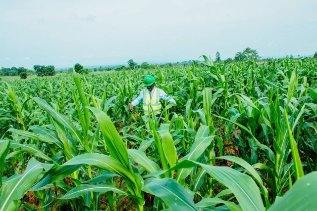 maize farm Edo