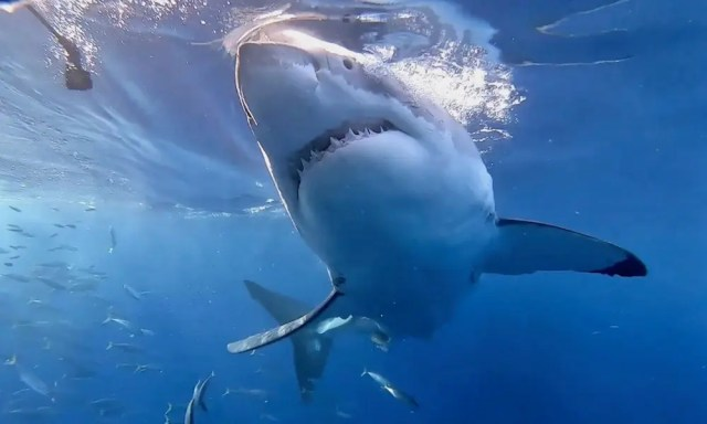 Shark rips off French woman's hands and breast in front of her family
