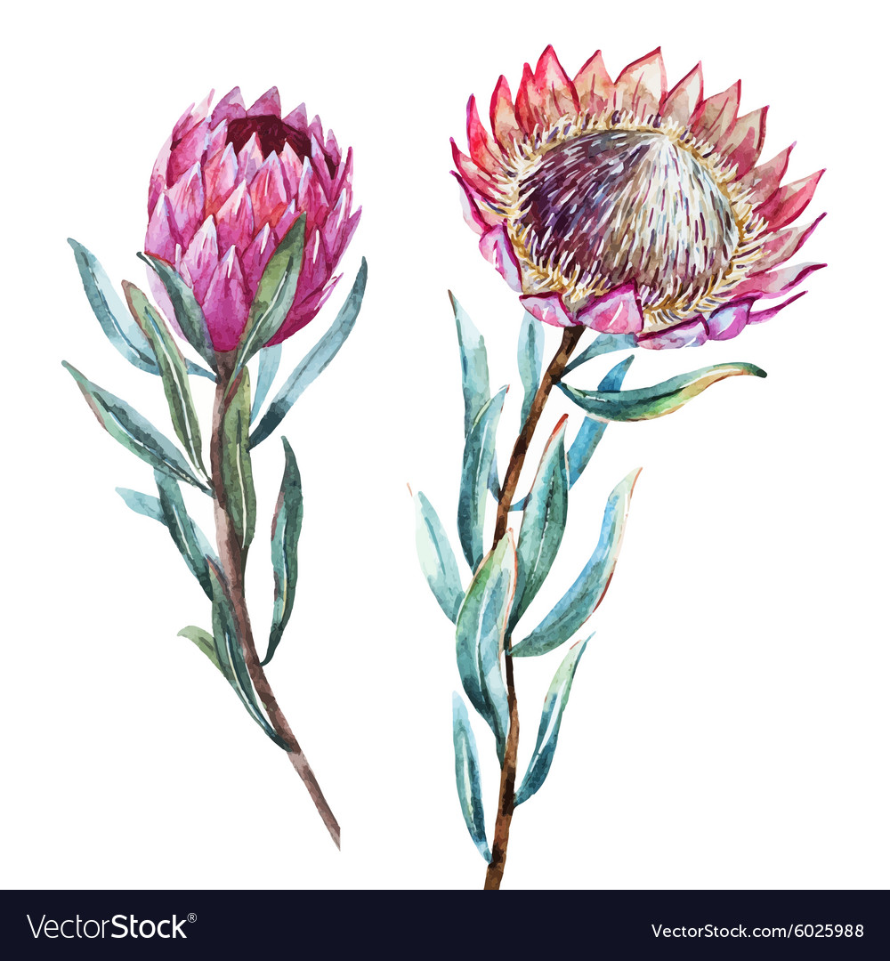 hight resolution of free watercolor tropical flower protea vector clipart