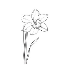 Sketch of narcissus flowers Royalty Free Vector Image