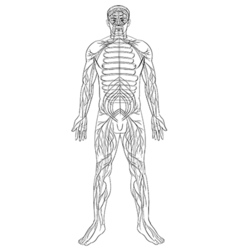 Human nervous system Royalty Free Vector Image
