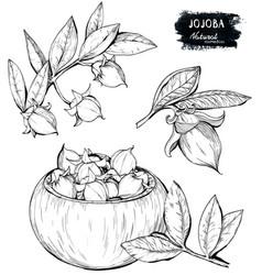 Jojoba drawing isolated vintage Royalty Free Vector Image